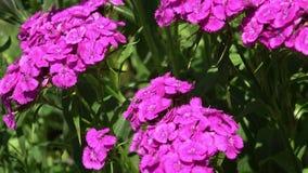Зацветать красивой красочной гвоздики цветка гвоздики chinensis в саде видеоматериал