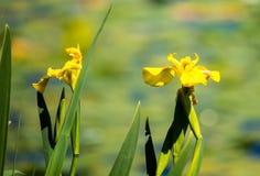 Зацветать на зеленом озере Стоковые Изображения