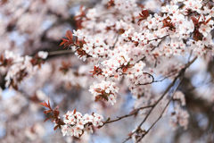 Зацветать разветвляет весной Стоковые Изображения