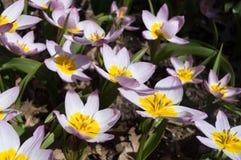 Зацветать розовые и белые тюльпаны в солнце Флористический естественный фон Радостное орнаментальное striped bicolour изображение Стоковая Фотография