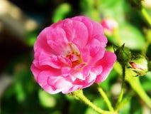Зацветать Розы пинка стоковое фото rf
