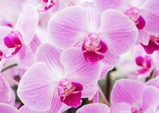Зацветать свежей орхидеи фаленопсиса Стоковое фото RF