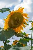 Зацветать солнцецвета Стоковые Изображения