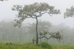 Зацветать тюльпана Сиама дерева и цветка одичалый леса Стоковые Изображения RF