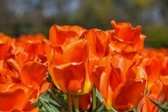 Зацветать тюльпанов Стоковые Изображения RF