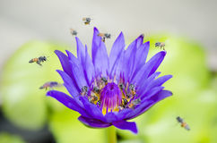 Зацветать цветения Otus Стоковые Изображения RF