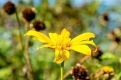 Зацветать цветка желтый в саде стоковые изображения rf