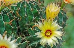 Зацветать цветка кактуса Стоковое Изображение RF