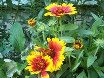 Зацветать цветка одеяла Стоковые Фото