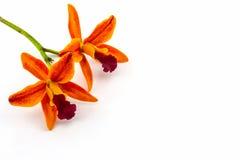 Зацветать цветка орхидеи гибридов Cattleya белых на предпосылке Стоковое фото RF