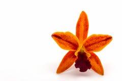 Зацветать цветка орхидеи гибридов Cattleya, тропический в Таиланде Стоковое фото RF