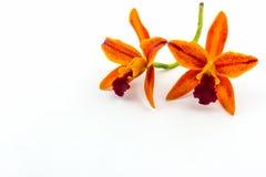 Зацветать цветка орхидеи гибридов Cattleya Стоковое фото RF