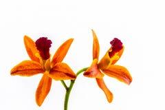 Зацветать цветка орхидеи гибридов Cattleya Стоковое Изображение
