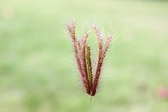 Зацветать цветка травы Стоковые Изображения RF