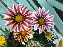 Зацветать цветка Gazania Стоковые Фотографии RF