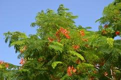Зацветать цветка ` s poinciana regia Delonix красный Стоковое Изображение