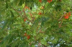 Зацветать цветка ` s poinciana regia Delonix красный Стоковые Изображения RF