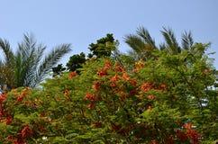 Зацветать цветка ` s poinciana regia Delonix красный Стоковые Изображения