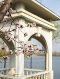 Зацветать цветков абрикоса Стоковые Фото
