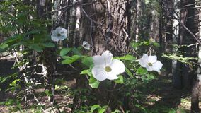 Зацветать цветков кизила стоковая фотография