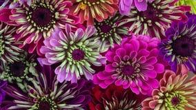 Зацветать цветков маргаритки Zinnia акции видеоматериалы