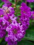 Зацветать цветков Миртл Crape пурпура Стоковое Изображение