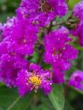 Зацветать цветков Миртл Crape пурпура Стоковое фото RF