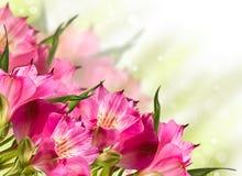 Зацветать цветков розовой лилии зацветая Стоковое Изображение RF