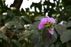 Зацветать цветков Crape-Миртл гиганта Стоковая Фотография RF