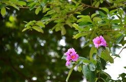 Зацветать цветков Crape-Миртл гиганта Стоковое Изображение
