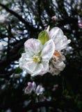 зацветать яблока Стоковое Изображение