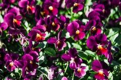 Зацветать cornuta Виолы голубой желтый фиолетовый стоковое фото