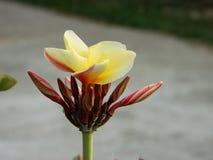 Зацветать Plumeria стоковая фотография rf