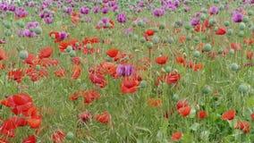 Зацветающ красные и пурпурные маки, трава на поле, злаковике акции видеоматериалы