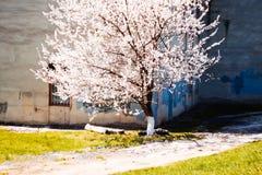 Зацветая абрикос Стоковое фото RF