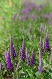 Зацветая лаванда в поле Стоковые Фото