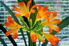 Зацветая амарулис против окна к саду Стоковые Изображения RF