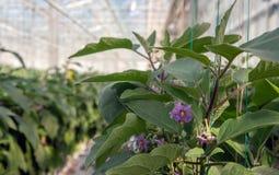 Зацветая баклажан от конца Стоковые Фото