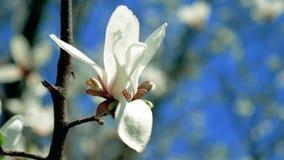 Зацветая белое дерево магнолии с цветками видеоматериал