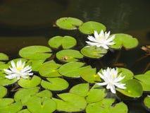 Зацветая белые лотосы и зеленая лягушка стоковые изображения rf