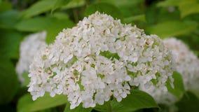 Зацветая белые цветки гортензии Hortensia в саде Красивые белые цветки окруженные концом-вверх растительности акции видеоматериалы
