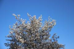 Зацветая белые цветки с ясным голубым небом стоковая фотография