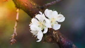 Зацветая белый цветок сливы Стоковая Фотография RF