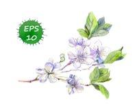 Зацветая белая вишня цветет японцы Сакура watercolour иллюстрация вектора