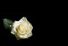 Зацветая белая роза на черноте Стоковые Изображения