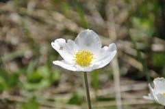 Зацветая белый цветок в фотографии макроса Стоковое Фото