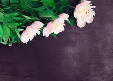 3 зацветая белых пиона Стоковая Фотография RF