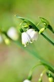 зацветая близкая лилия вверх по долине Стоковое Изображение RF