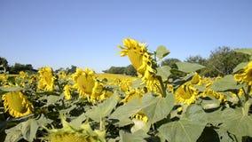 Зацветая большие заводы annuus подсолнечника солнцецветов на поле в временени Цветя яркая желтая предпосылка солнцецветов видеоматериал