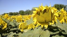 Зацветая большие заводы annuus подсолнечника солнцецветов на поле в временени Цветя яркая желтая предпосылка солнцецветов акции видеоматериалы